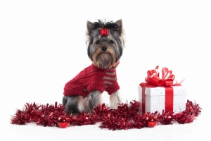 Dog. Yorkie puppy with gift boxes on white background